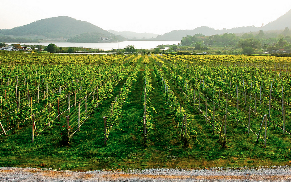 Young grape vines at Silverlake